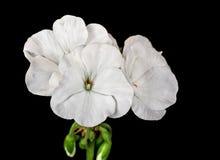 White Geranium Royalty Free Stock Image