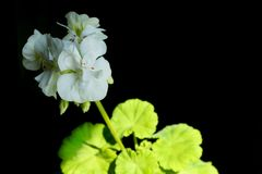 White geranium on a black background. Blooming white geranium with green leaves close-up on a black background stock photography