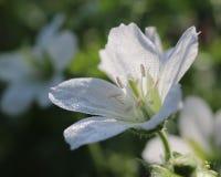 White Geranium stock images
