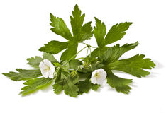 White geranium stock photo