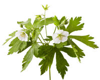 White geranium flower stock photo