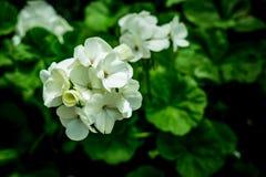 White geranium flower. S on green leaves background in garden stock image