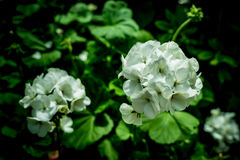 White geranium flower. S on green leaves background in garden royalty free stock photography