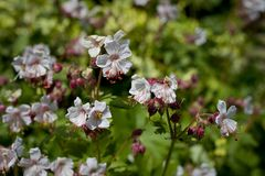 White geranium in flower in May, UK. White flowering geranium - also known as Hardy Cranesbill, Yorkshire, England, UK royalty free stock images