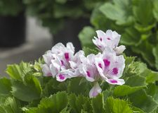 White geranium flowers with pink spots royalty free stock images