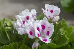 White geranium flowers with pink spots stock photos
