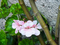 White Geranium. Garden after the rain. Tiny geranium peeking out behind other plants royalty free stock photos