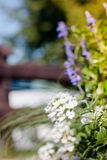 White geranium outdoors Stock Images