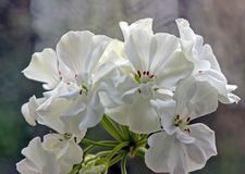 White geranium in a pot. Blooms on the windowsill stock image