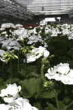 White Geraniums. Potted white annual geraniums in Preliep hot house in Lenawee County MI royalty free stock images