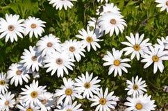 White gerber daisies. Some pretty white gerber daisies royalty free stock photos