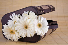 White Gerber Daisies in Vintage Suitcase. Lovely bouquet of white Gerber daisies in old style suitcase sitting on bamboo mat Royalty Free Stock Images