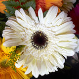 White gerber daisy Royalty Free Stock Image