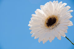 White gerber flower Royalty Free Stock Photo