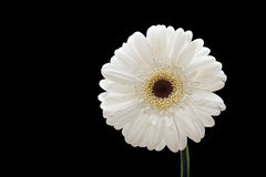 White Gerbera Royalty Free Stock Photos