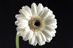 white gerbera Obrazy Royalty Free
