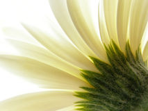 white gerbera Obraz Royalty Free