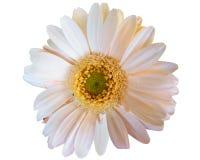 White Gerbera stock image