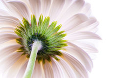 White gerbera back Royalty Free Stock Image