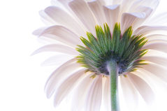 White gerbera back Royalty Free Stock Images