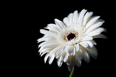 White gerbera on black Stock Image
