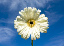 White gerbera on blue sky Royalty Free Stock Image