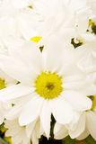 White gerbera daisies Royalty Free Stock Photos
