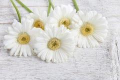 White gerbera daisies on wooden background Stock Photos