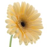 White Gerbera Daisy. Isolated on a white background Royalty Free Stock Photo
