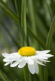 White Gerbera Daisy against Green foliage Stock Images