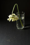 White gerbera dying Stock Photo