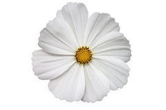 White gerbera flower Stock Photos