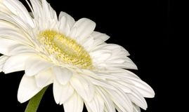 White gerbera flower close up Royalty Free Stock Images