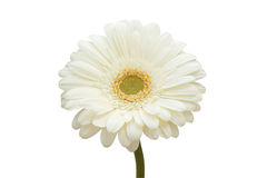 White gerbera flower. Isolated. Close-up Stock Image
