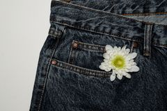 White gerbera flower in the pocket of rough jeans. Beautiful flower on denim texture background. jeans on a pure white background royalty free stock images
