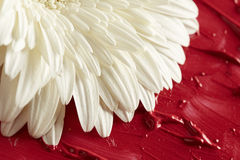 White gerbera flower in red paint Stock Photos