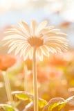 White gerbera flower. Soft light gerbera flower in the garden Royalty Free Stock Photo