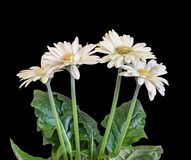 White Gerbera flowers, green leaves, vase, flowerpot, close up, isolated. Asteraceae (daisy family). Royalty Free Stock Photo