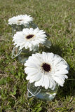 White Gerbera flowers. In small pots on grass stock photo
