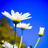 White gerbera Royalty Free Stock Images