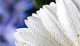 White gerbera petals with water drops Stock Photos