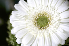 White gerbera Royalty Free Stock Photography