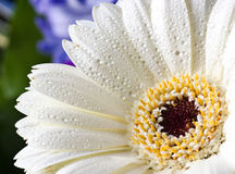 White gerbera with water drops Stock Images