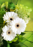 White gerberas Stock Images