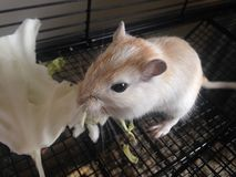 White Gerbillinae Eating Cabbage. Stock Image