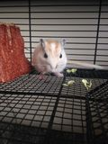 White Gerbillinae Eating Cabbage. Royalty Free Stock Photos