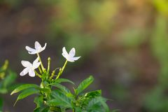 White Gerdenia Crape Jasmine with blur background. stock photography