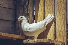 White German beauty homer pigeon Royalty Free Stock Photo