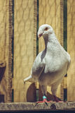 White German beauty homer pigeon Royalty Free Stock Images