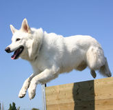White german shepherd. Purebreed white shepherd jumping in agility Royalty Free Stock Image